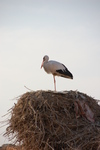 Stork_close_up